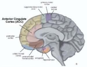 Gehirn Anterior Cingulate Cortex (ACC)